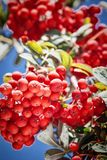 Ripe red ashberry Royalty Free Stock Image