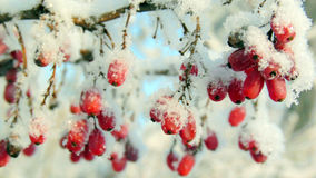 Ripe red barberry berries powdered with a snow. The berries of barberry covered with snow in a frosty day Royalty Free Stock Photos