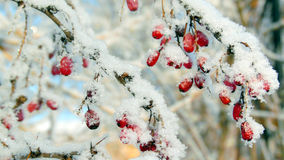 Ripe red barberry berries powdered with a snow. The berries of barberry covered with snow in a frosty day Stock Photography
