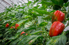 Ripe red bell peppers Stock Photos