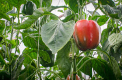 Ripe red bell peppers Stock Images