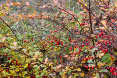 Ripe red berries of barberry. Royalty Free Stock Photography