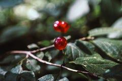 Ripe red berries stock photo
