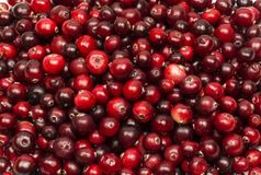 Ripe red berries of cranberries in large quantities Stock Photo