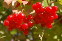 Ripe red berries Stock Photo