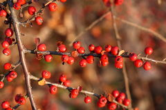 Ripe red berries on plant. Closeup of ripe red berries on branches of plant Stock Image