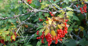 Ripe red berries on plant. Closeup of leafy green plant with ripe red berries Royalty Free Stock Image