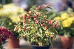 Ripe red berries of ripe nightshade in a flower pot, autumn ornamental plants stock photography