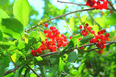 Ripe red berries on the tree Stock Images
