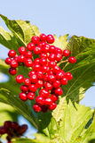 Ripe Red Berries Royalty Free Stock Photo