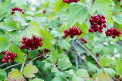 Ripe red berries of viburnum on a branch. royalty free stock photos