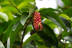 Ripe red bignay fruit. On a leafy green tree Royalty Free Stock Image