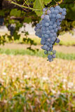 Ripe red or black grapes cluster hanging in a vine Stock Images