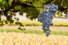 Ripe red or black grapes cluster hanging in a vine Stock Photo