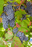 Ripe red or black grapes clusters hanging in a vine Stock Photography