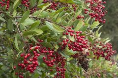 Ripe red bunches of fruit on wild toyon branches. Red ripe bunches of fruits on Heteromeles arbutifolia toyon shrub in natural setting Royalty Free Stock Photos