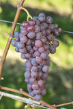 Ripe Red Chasselas Grape In The Vineyard Before Harvest Royalty Free Stock Photography