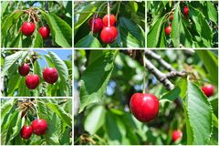Ripe red cherries on the branch; cherry fruit tree collage Stock Photos