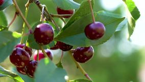 Ripe red cherries hanging on a branch of a cherry tree