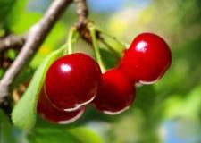 Ripe, red cherries  (horizontal) Stock Photo