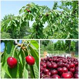 Ripe red cherries in the orchard; fruit collage Stock Photography