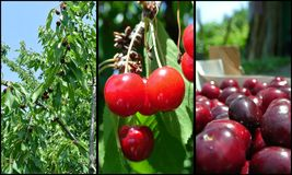 Ripe red cherries in the orchard; fruit collage Royalty Free Stock Photo