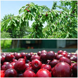 Ripe red cherries in the orchard; fruit collage Royalty Free Stock Photos