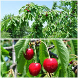 Ripe red cherries in the orchard; fruit collage Stock Photo