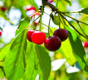 Ripe red cherries Stock Image