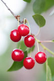 Ripe red cherries tree branch, green leaves macro view. Selective focus, shallow depth field. Vertical photo, beautiful Royalty Free Stock Images