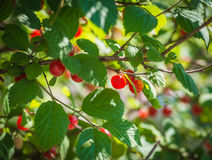 Ripe red cherries on a tree branch. Royalty Free Stock Images