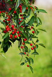 Ripe red cherries. On a tree in the garden of a summer day. Bio healthy and diet food. Selective focus Stock Image