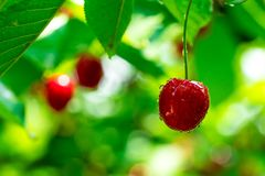 Red cherry on branch royalty free stock photo