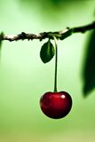 Ripe red cherry in spring Stock Photos