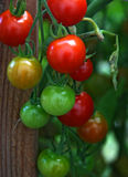 Ripe Red Cherry Tomatoes Royalty Free Stock Images