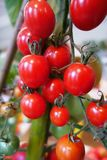 Ripe red cherry tomatoes Royalty Free Stock Photos