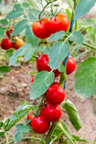 Ripe red cherry tomatoes on the vine Royalty Free Stock Photo