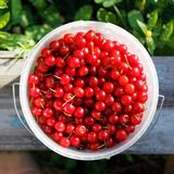 Ripe red cherry in a white plastic bucket Royalty Free Stock Photo