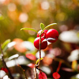 Ripe red cowberry bush Royalty Free Stock Photos
