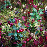 Ripe red cowberry bush Royalty Free Stock Photo
