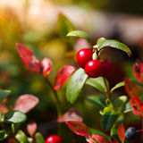 Ripe red cowberry bush Stock Image