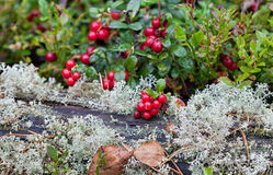 Cowberry close up Royalty Free Stock Images