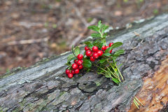 Cowberry close up Stock Photography
