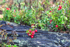Ripe red cowberry Stock Image