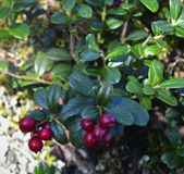 Ripe red cowberry close up. Royalty Free Stock Image