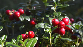 Ripe red cowberry close up. Stock Image