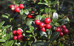 Ripe red cowberry close up. Stock Images
