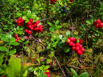 Ripe red cowberry grows in pine forest Stock Photo