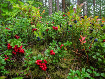 Ripe red cowberry grows in pine forest. Royalty Free Stock Images