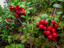 Ripe red cowberry grows in pine forest. Royalty Free Stock Image